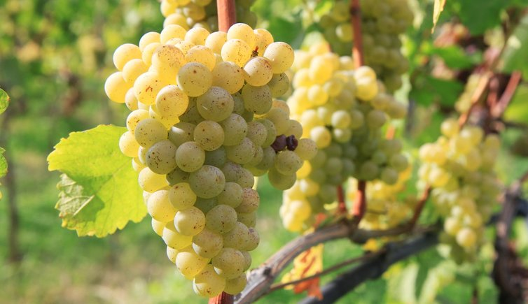 Идва най-сладостното време от годината – гроздоберът!